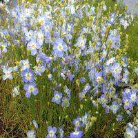 Heliophila longifolia