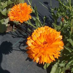 Some calendulas or pot marigolds, lovely color!