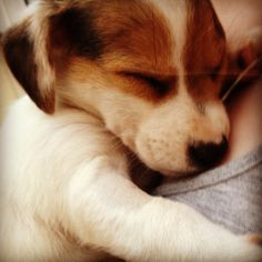 Alfie the jack russell puppy