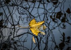"Autumn scenes - The Boston Globe Big Picture ""A yellow leaf of a maple tree floats in a pond at Ostankino park in Moscow, Russia, Oct. 18. (SERGEI ILNITSK)"""
