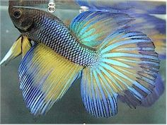 Betta splendens (apparently they come in the most remarkable colors)