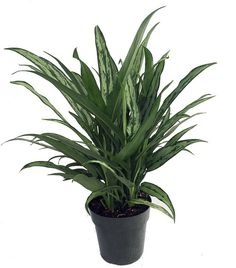 "Cutlass Chinese Evergreen Plant - Aglaonema - Low Light - 6"""" Pot"