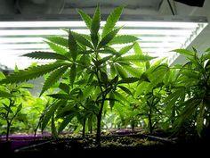 Marijuana grow-lights cause problems for ham-radio operators