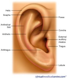 Sculpting ears. Repinned by SOS Inc. Resources.  Follow all our boards at http://pinterest.com/sostherapy  for therapy resources.