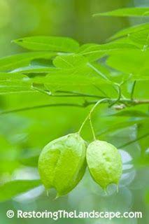 American Bladdernut ~ Staphylea trifolia