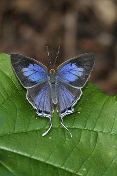 Stunning Azure Hairstreak Butterfly! Posing on green leaf