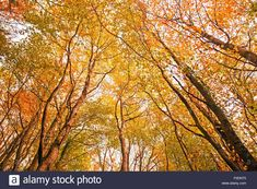 Find the perfect autumn trees ireland stock photo. Huge collection, amazing choice, million high quality, affordable RF and RM images. Autumn Trees, Autumn Leaves, Beech Tree, Birch, Ireland, Stock Photos, Yellow, Amazing, Photography