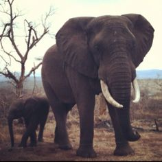 The African Elephant. KZN, South Africa