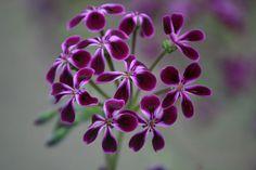 Pelargonium 'Lawrenceanum' - this scented pelargonium will add an opulent feel to your hanging basket or planter