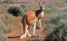 kangaroo - Google Search
