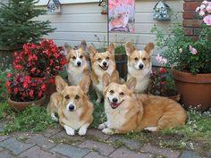 Corgi Family