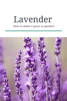 #lavender How to make it grow in garden? #lavanda #garden #giardino #coltivare #come #howto #tips #piantare #seminare #semina #parfum #profumo #violet #viola #purple #iloveflowers #flowerpower