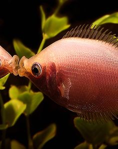 Aquariums and gorgeous fish on pinterest tropical fish for Kissing gourami fish