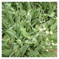 Balsamita: Tanacetum balsamita | Cantinho das Aromáticas