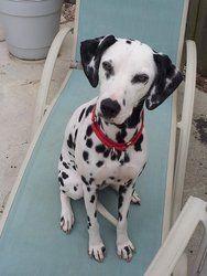 Adopt A Spot Dalmatian Rescue, Inc. P.O. Box 9375 Chesapeake, VA 23321