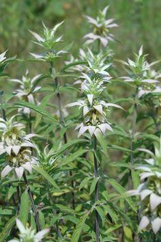 Monarda-punctata-Spotted-Bee-Balm-plants. needs sandy soil, partial to full sun.