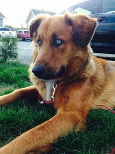 Golden retriever husky mix | dogs and everything you need ...