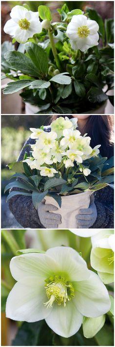 Kleine, kompakte Wunder, die ihre Blüten während der kalten Jahreszeit zeigt: Christrosen! Gefunden auf www.tom-garten.de
