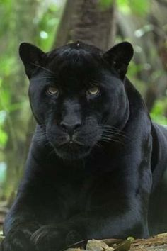 Black Leopard App for Android