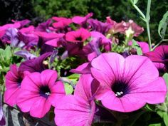 Keeping Your Petunias Healthy