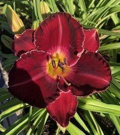 Planting A Rainbow, Dark Blood, Day Lilies, Evergreen, Bud, Summertime, Bloom, Seasons, Pearls