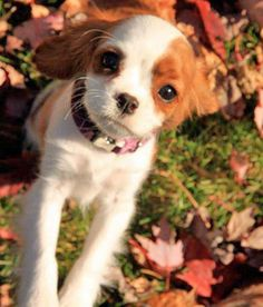 #85: Penny the Cavalier King Charles Spaniel