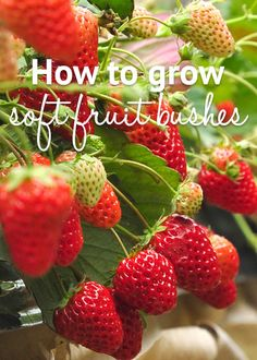 How to grow soft fruit bushes - strawberries, raspberries and more! Fruit Bushes, Fruit Plants, Fruit Trees, Strawberry Garden, Fruit Garden, Growing Raspberries, Strawberries, Blackberries, Compost