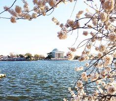 Jefferson Memorial Cherry Blossoms DC