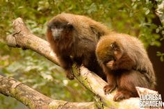 Red titi monkeys