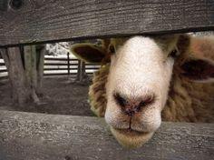 Sheep Photograph Cow Art Country Decor by AmericanaArtByEllis, $25.00