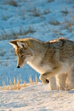 ☀Coyote by wild prairie man