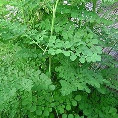"""Moringa oleifera is known as """"horseradish tree"""" or """"drumstick tree"""", native to India, is one of the best useful tree and an enormous amount of be. Moringa Benefits, Health Benefits, Natural Herbs, Natural Health, Herbs For Fertility, Moringa Recipes, Miracle Tree, Natural Antibiotics, Healthy Food Options"""