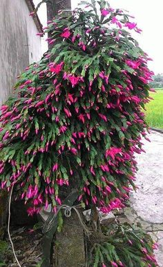 Christmas cactus ready to bloom Christmas cactus ready to bloom Orchid Cactus, Orchid Plants, Cactus Flower, Air Plants, Indoor Plants, Succulents In Containers, Cacti And Succulents, Planting Succulents, Planting Flowers