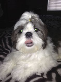 Sparky the Shih Tzu sticking his tongue out