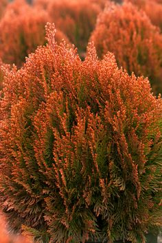Morgan's Chinese Arborvitae - Turns flame red each Autumn