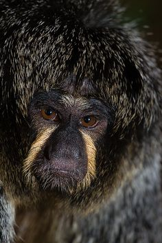 "mysleepykisser-with-feelings-hid: "" female white faced saki by lcpete on talkphotography """