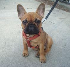 Beefy (French Bulldog)! @Maria Annunziata Rex In The City