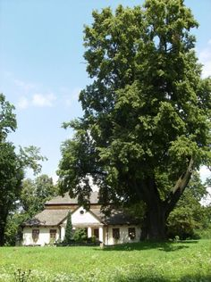 Linden Tree. Trees in the Polish (Slavic) folklore and culture: part 1 – Lamus Dworski