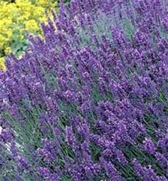 Hidcote Lavender Plant- Lavender holds its scent even after drying, perfect for potpourris. #live #plant