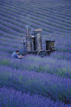 https://flic.kr/p/8rdQZT | Olivier Baussan Distilling Lavender