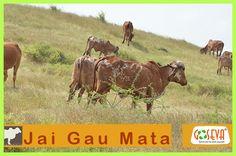 gau mata serve cows to save yourself ! Jasdan Gir