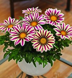 Гацания — это растение из семейства астровых, которое выращивают как однолетнее. Чаще всего встречается гацания гибридная и длиннострелковая.