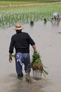 Plantando arroz en el Delta del Ebro, Catalonia