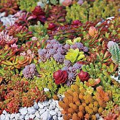 Drought Tolerance and Carefree— A Command Performance This special mix of six different sedum varieties provides an optimum array of color and textur