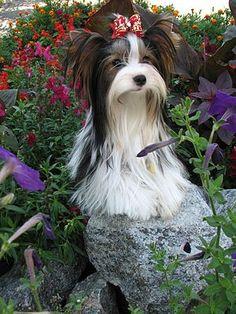 Biewer Terrier Dog