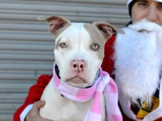 TO BE DESTROYED - 12/15/14 Brooklyn Center - P  My name is QUEENIE. My Animal ID # is A1022544. I am a female white and tan am pit bull ter mix. The shelter thinks I am about 1 YEAR   I came in the shelter as a STRAY on 12/07/2014 from NY 11374, owner surrender reason stated was STRAY.