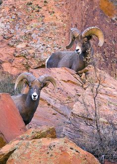 colour my world Big Horn Sheep, Pretty Fish, Animal Games, Wildlife Nature, Wildlife Photography, Animal Kingdom, Mammals, Animal Pictures, Mountain Goats