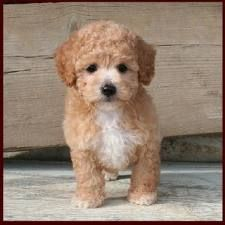 Bich-poo, Bichpoo, Oodle, Poodle Hybrid, Poodle Mix, Doodle, Dog, Puppy pinned by myoodle.com