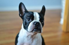Boston terrier owners think their dogs rule and here's why. Don't forget Boston's are available from rescues too!