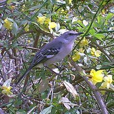 Mr. Mocking Bird...Ready for Spring Mocking Birds, Common Birds, Cute Birds, Country Life, Beautiful Birds, Bird Feeders, Spring, Wall, Animals